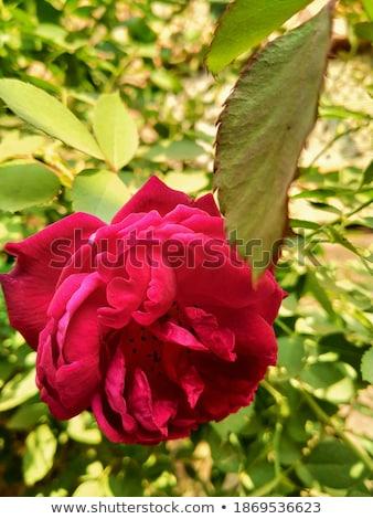 Proaspăt trandafir flori roz tabel Imagine de stoc © neirfy
