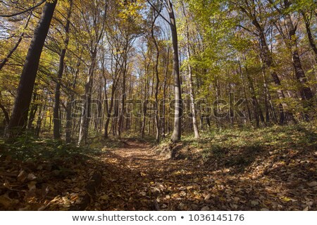 Leaf covered path in the woods Stock photo © njnightsky