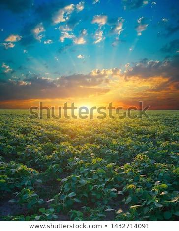 Napfelkelte szójabab mező napfény levelek kicsi Stock fotó © stevanovicigor