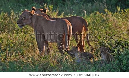 kettő · fű · park · Botswana · utazás · Afrika - stock fotó © simoneeman