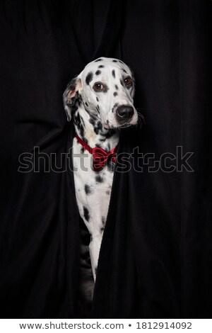 Adulto masculino dálmata retrato cão casal Foto stock © IS2