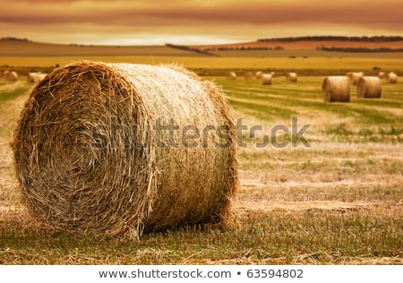field of freshly bales of hay with beautiful sunset stock photo © sandralise