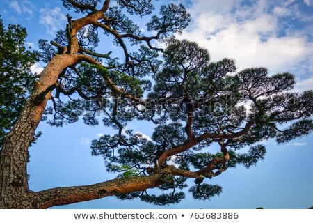 Японский черный соснового Blue Sky Япония дерево Сток-фото © daboost