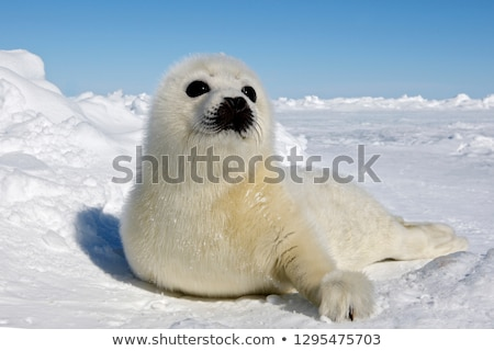 Baby Seals Stock photo © hlehnerer