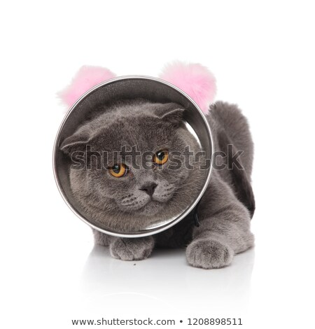 cute lying scotish fold wearing cone and pink ears headband Stock photo © feedough