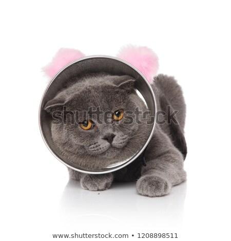 cute lying scotish fold wearing cone and pink ears headband stock photo © feedough
