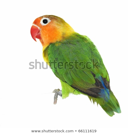 Little Parrot in Love Stock photo © cthoman