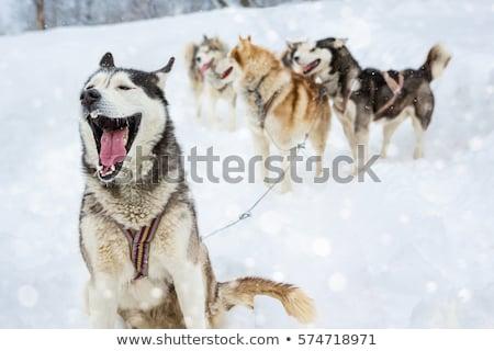 Husky Pack иллюстрация собака пейзаж дизайна Сток-фото © bluering
