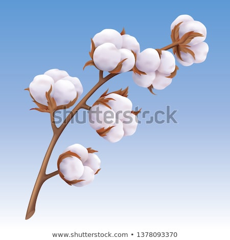 beautiful realistic cotton branch isolated on blue background stock photo © marysan