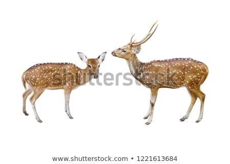 Two deers in the safari zoo Stock photo © colematt