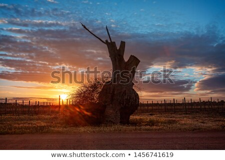 Bulbous tree trunk and grape vines in the sunrise Stock photo © lovleah