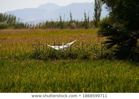 лет риса полях природы пейзаж лет Сток-фото © galitskaya