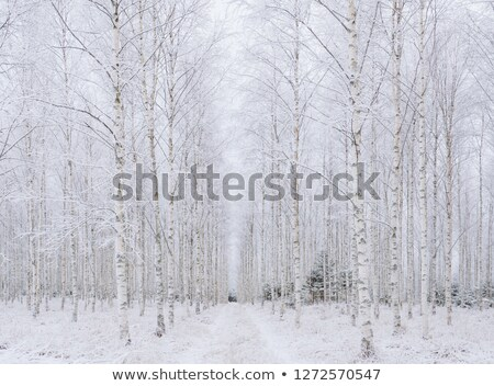 Frost covered birch tree Stock photo © 5xinc