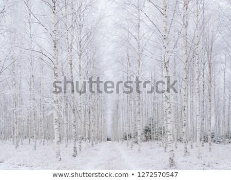 huş · ağacı · orman · güneş · ışık · kış · sıcak - stok fotoğraf © 5xinc