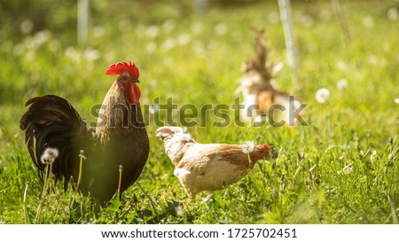 chicken and cock outdoors stock photo © lichtmeister