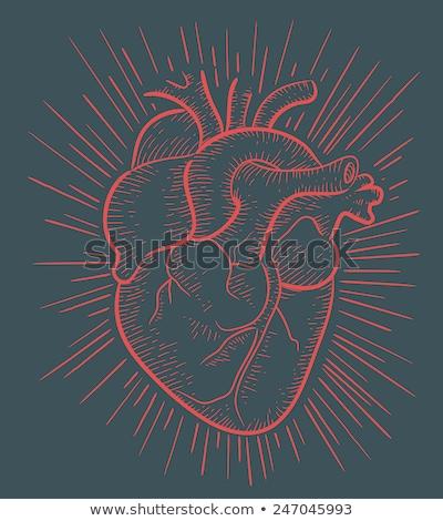 Rood menselijke hart vector tekening witte Stockfoto © beaubelle