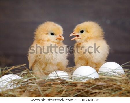 altın · tavuk · yumurta · beyaz · Paskalya - stok fotoğraf © oleksandro