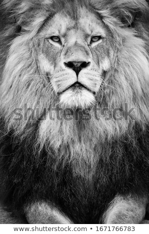 Stock photo: Lion (Panthera leo)