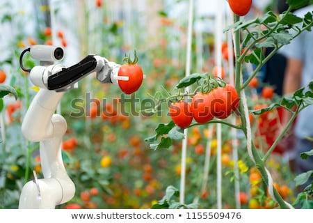 Robot pracy szklarnia pomidory Zdjęcia stock © RAStudio