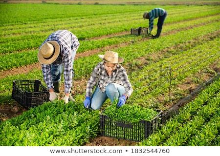 Uomo agricoltore produrre illustrazione paglietta Foto d'archivio © lenm