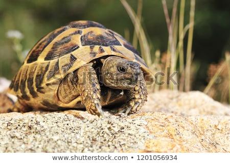 common turtoise in natural habitat Stock photo © taviphoto