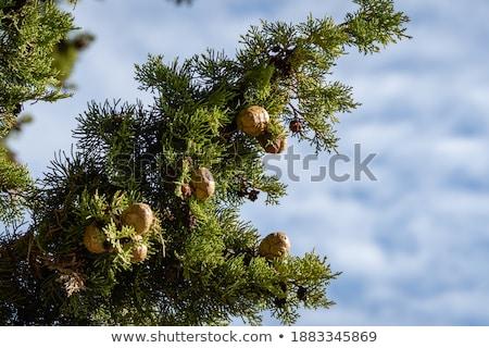 coniferous tree and cone Stock photo © joannawnuk