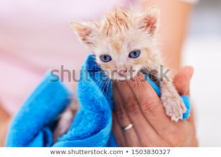 Funny and cute ginger kitten dry after bath in a blue towel Stock photo © ilona75