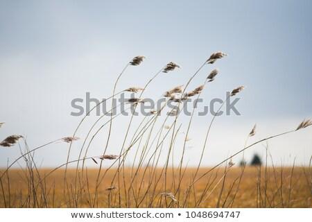 Búza termény integet szél közelkép fúj Stock fotó © filmstroem