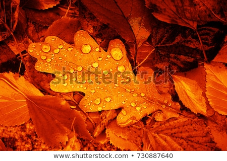 Fallen leaves covered with raindrops Stock photo © Nneirda