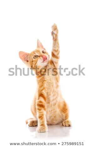 Vermelho pequeno gato isolado fundo Foto stock © Fesus