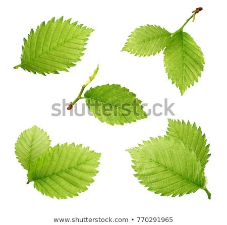green leaves of hazelnut tree Stock photo © meinzahn