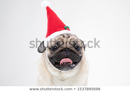 Aranyos szürke szőrös kutya visel mikulás Stock fotó © feedough