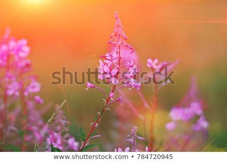 Maravilhoso rosa flor pôr do sol floral Foto stock © Anneleven