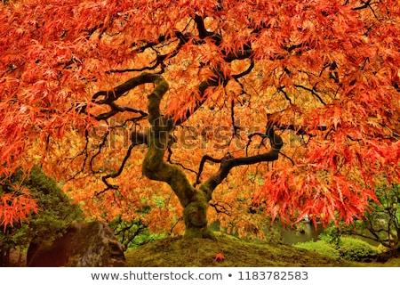 japonês · bordo · árvore · outono · amarelo · folhas - foto stock © arrxxx