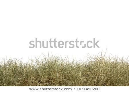 Wild plants in the field stock photo © mariematata