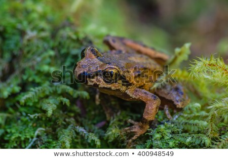 Spotted Frog Stock photo © rhamm