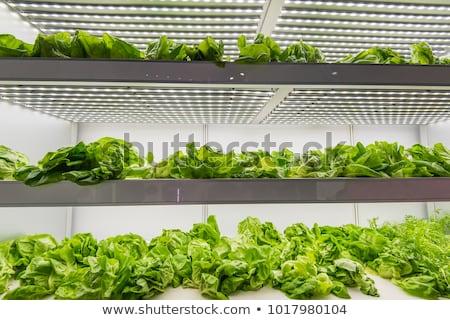 Organic hydroponic vegetable  in greenhouse Stock photo © stoonn