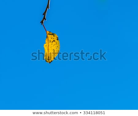 cherry tree leaves under blue sky in harmonic autumn colors stock photo © meinzahn