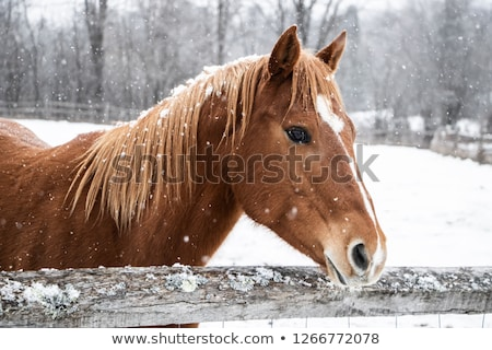Horse in Winter Stock photo © pictureguy
