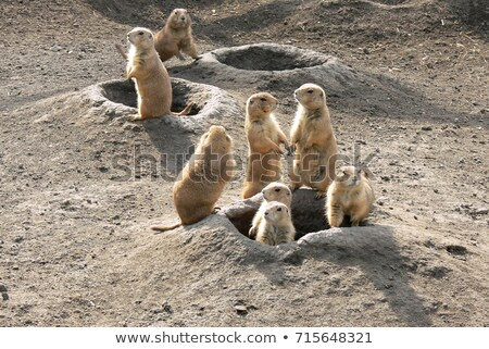 young prairie dog from hole in the ground Stock photo © compuinfoto
