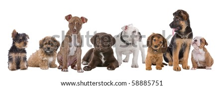 Yorkshire Terrier lookint to the left in white studio Stock photo © vauvau