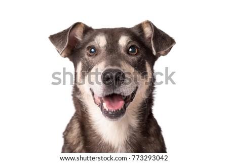 Mixed breed dog portrait in a white photo studio Stock photo © vauvau