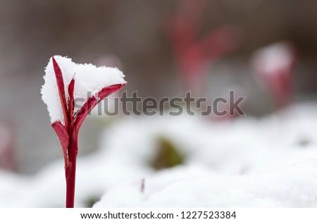 Сток-фото: красный · новых · роста · свежие · снега