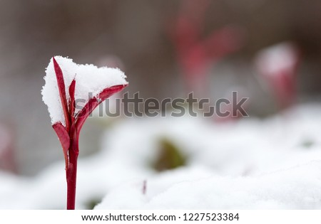 photinia red robin new growth holding fresh snow stock photo © lovleah