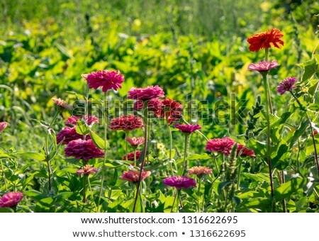 Różowy kwiaty w. ogród drzew lata Zdjęcia stock © artjazz