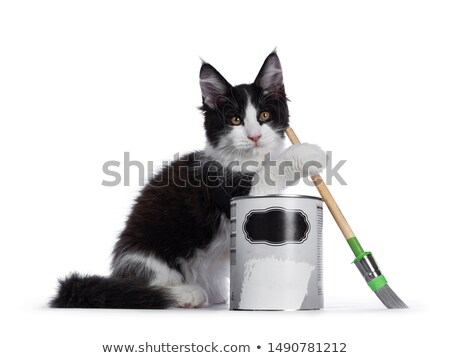 Black and white solid bicolor Maine Coon cat on white Stock photo © CatchyImages