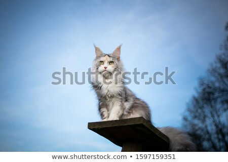 Torbie Maine Coon cat on white stock photo © CatchyImages