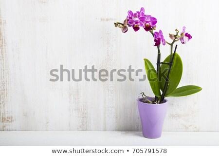 Stock fotó: Orchidea · orgona · edény · izolált · fehér · virág