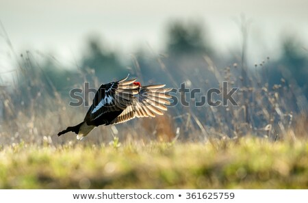Grouse in the forest Stock photo © Ustofre9