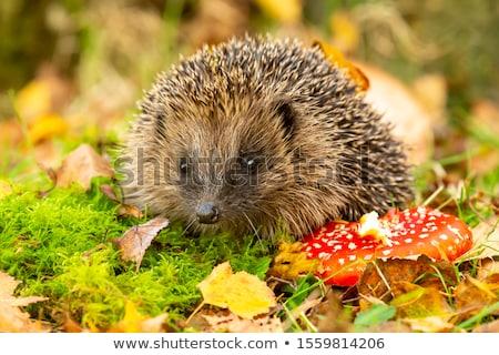 hedgehog mushroom stock photo © cynoclub
